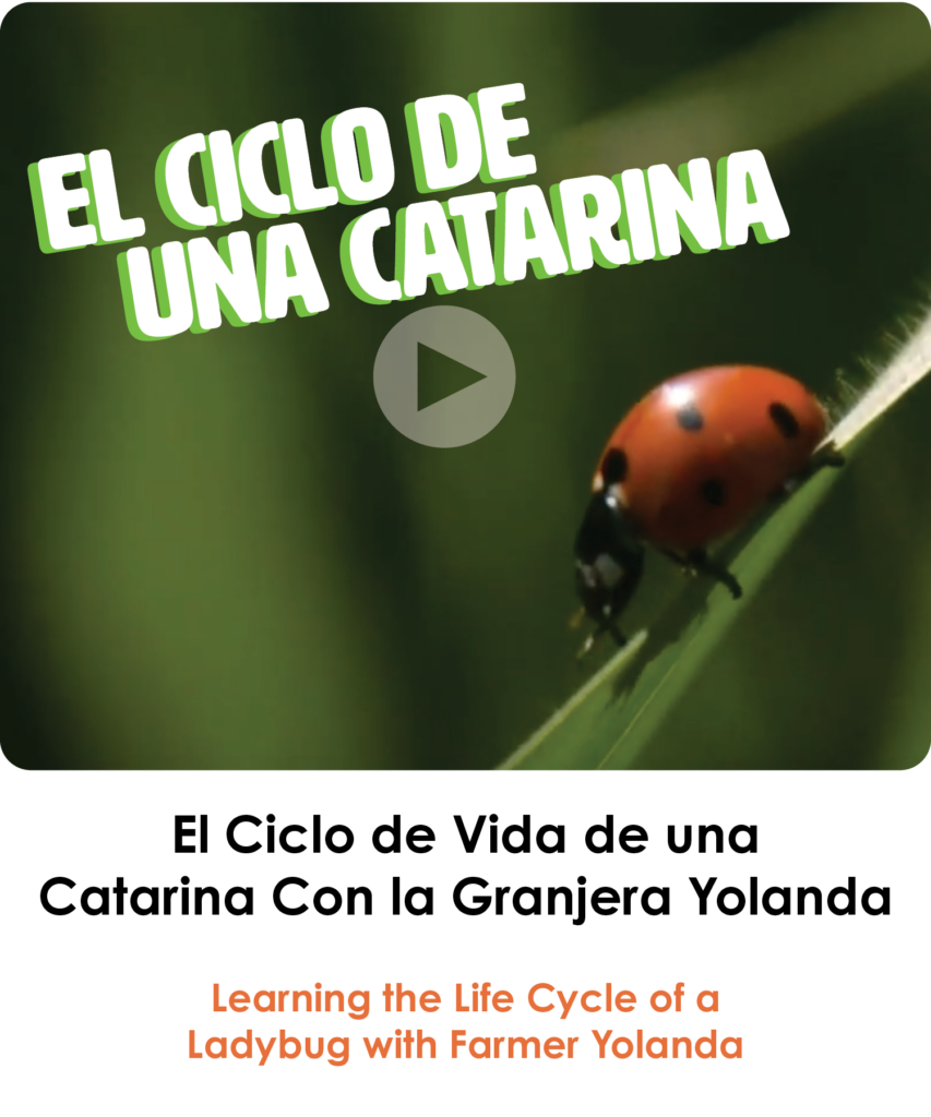 Life Cycle of a Ladybug in Spanish