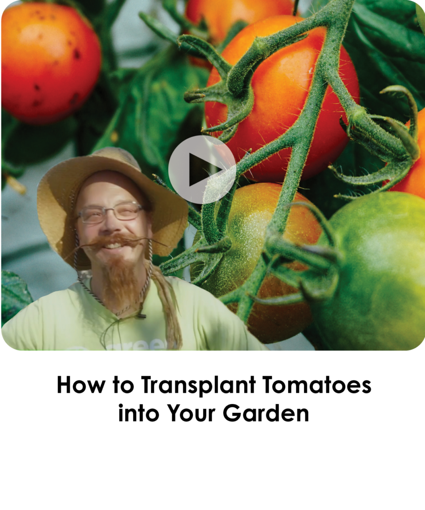 How to Transplant Tomatoes into Your Garden