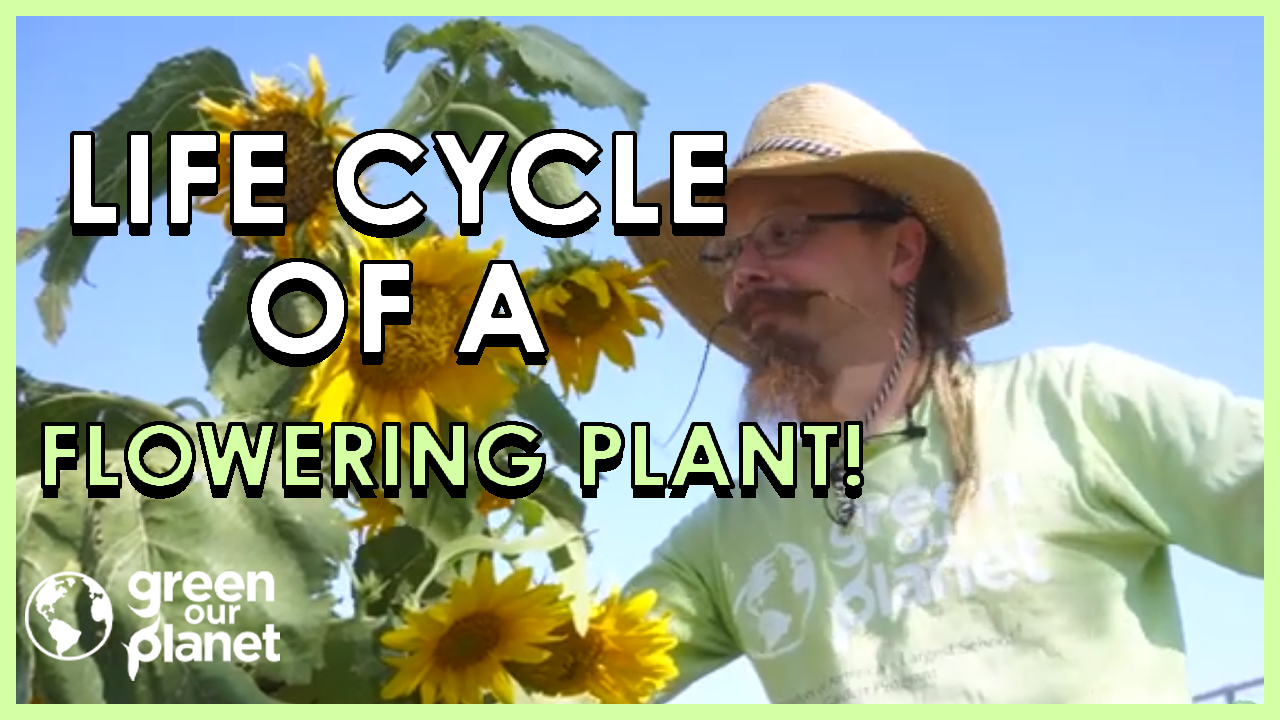 Life-Cycle-of-a-Flowering-Plant