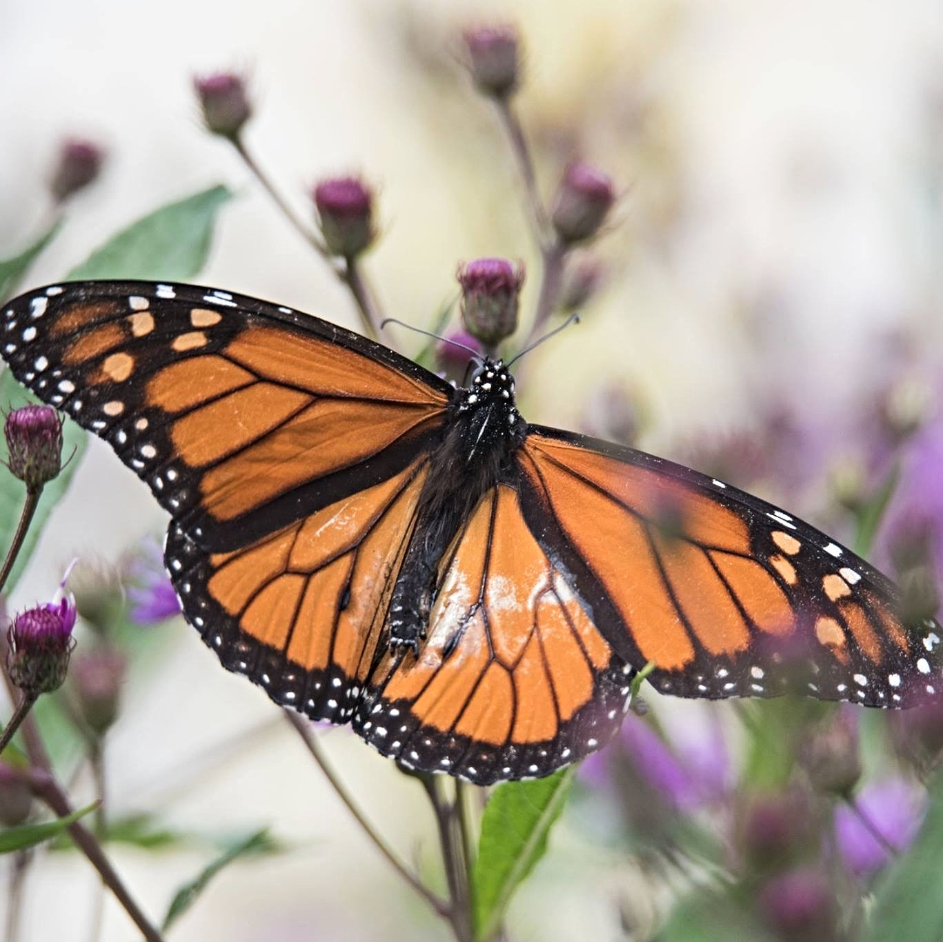 Monarch butterfly in garden (square cropped)