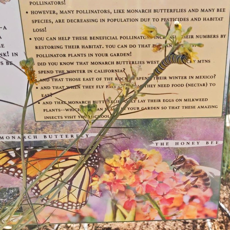 Monarch caterpillar on milkweed with sign (square cropped and colored)